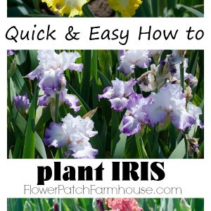 Get tons of gorgeous blooms by following this easy step by step of how to plant Iris successfully, FlowerPatchFarmhouse.com