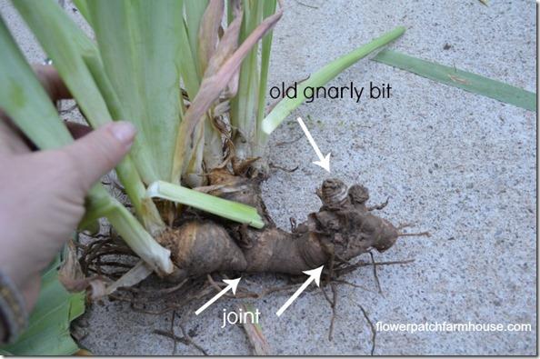how I separate my iris, how to divide iris rhizomes