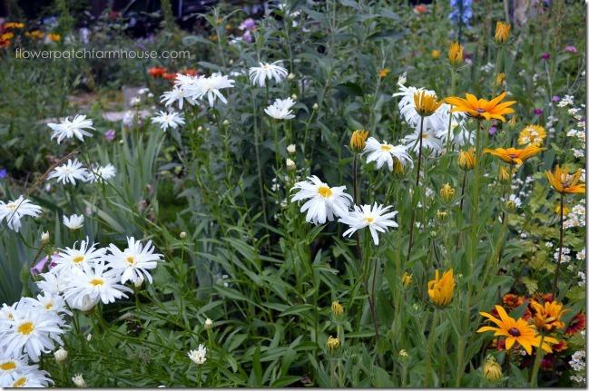 daisy-and-blackeyeds6_thumb.jpg