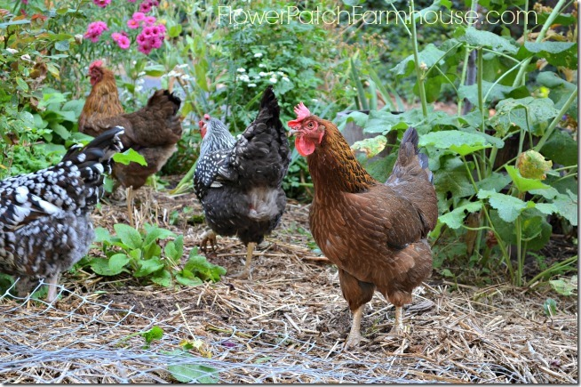 Chickens in the garden, FlowerPatchFarmhouse.com