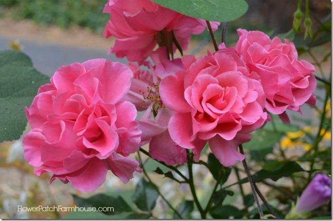 pink rose in barrel