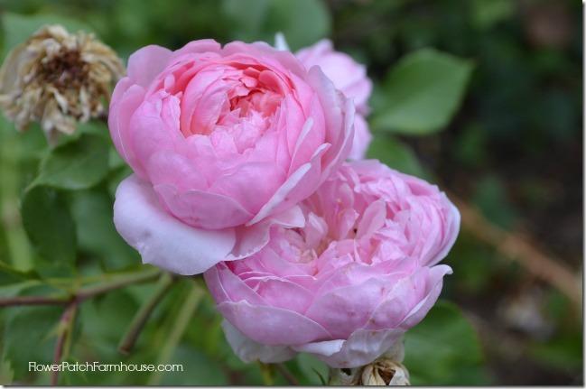 side rose