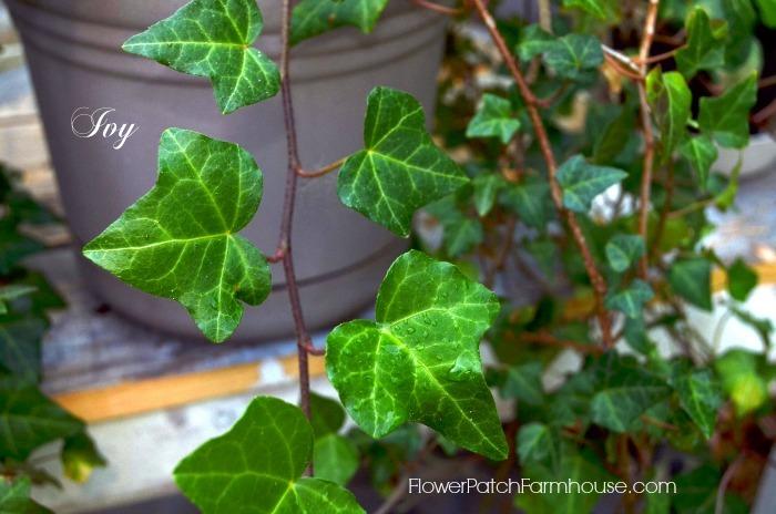 English Ivy plant,