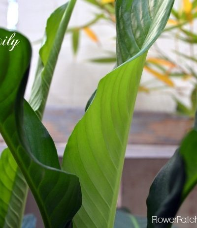 Peace Lily, how to grow and care for Peace Lily