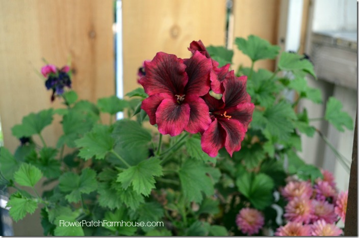 martha washington geranium