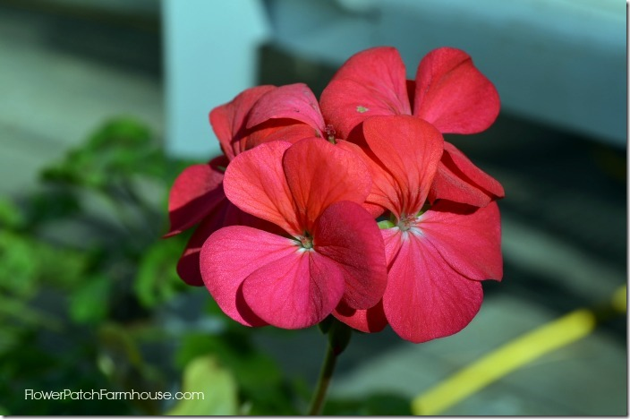 Over winter your favorite plants. Grow geraniums inside for the winter.
