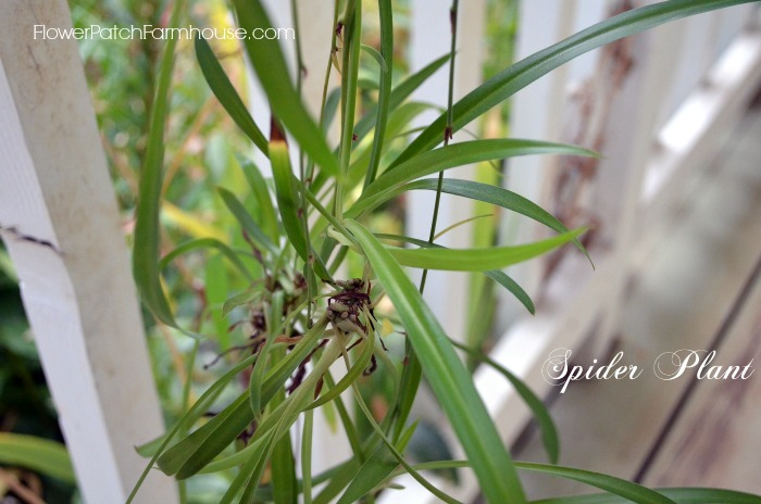 Clear the air with indoor plants, Spider plant babies or plantlets, FlowerPatchFarmhouse.com