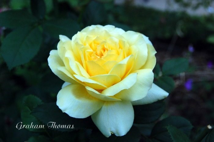 Graham Thomas english rose additions