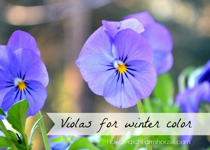 Violas for winter cheer. A flower that will bloom in mild winter areas until it gets hot.