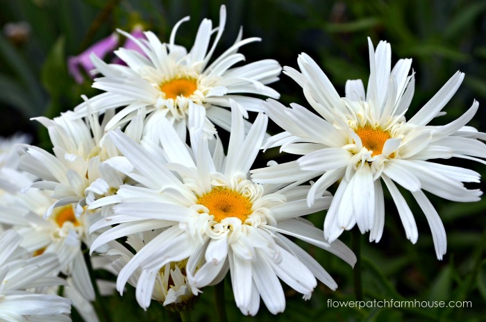 How to Grow Daisies and keep them blooming all summer long! FlowerPatchFarmhouse.com