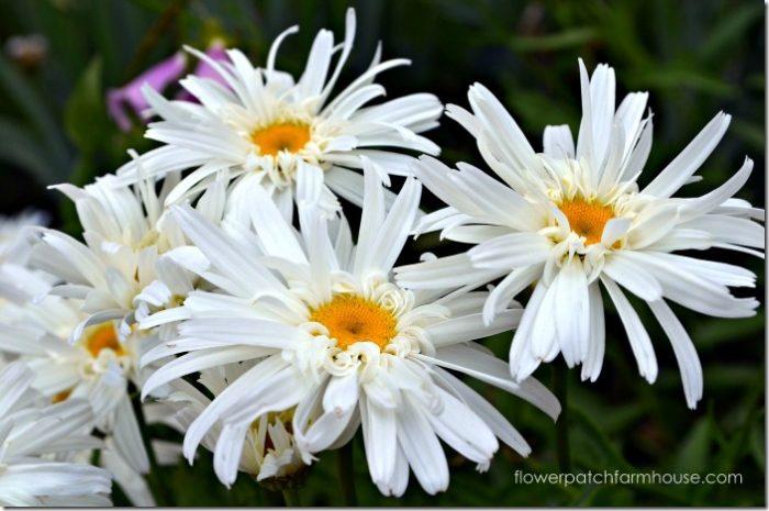 crazy-daisy700_thumb.jpg