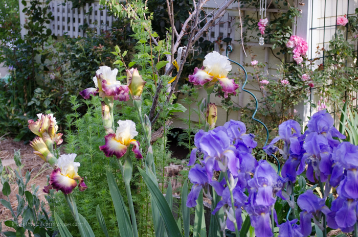 Beautiful Iris in my Garden, FlowerPatchFarmhouse.com