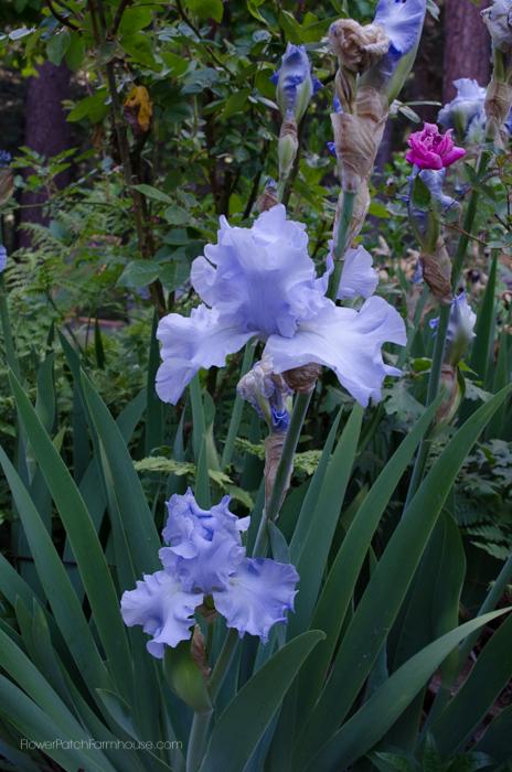Iris May 30-3