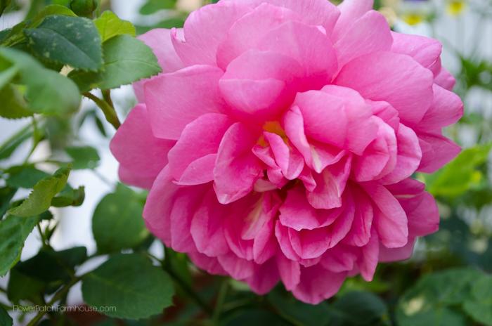 A david austin rose Princell Alexandra of Kent