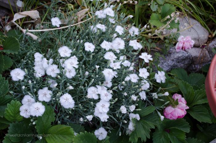 White Dianthus