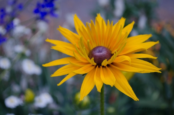 Black-Eye-Susan-Double-FlowerPatchFarmhouse.com_.com-32-of-51.jpg