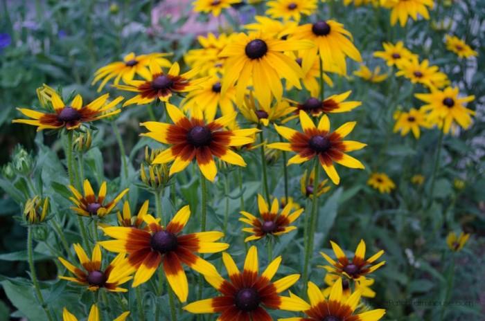 Black-Eyed-Susan-Mix-FlowerPatchFarmhouse.com_.com-49-of-51.jpg