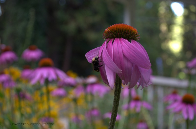 Bumblebee on a Purple Coneflower