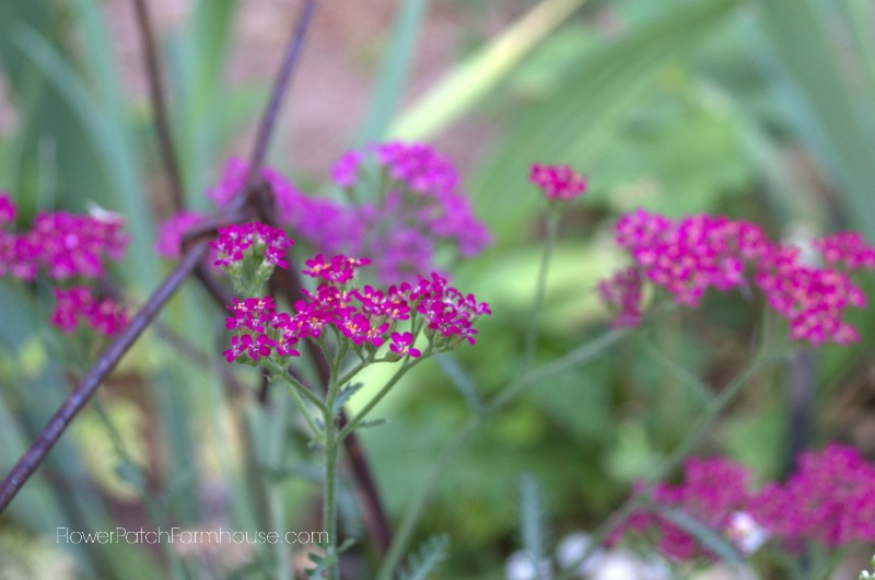 Cerise Queen Yarrow 8, FlowerPatchFarmhouse.com