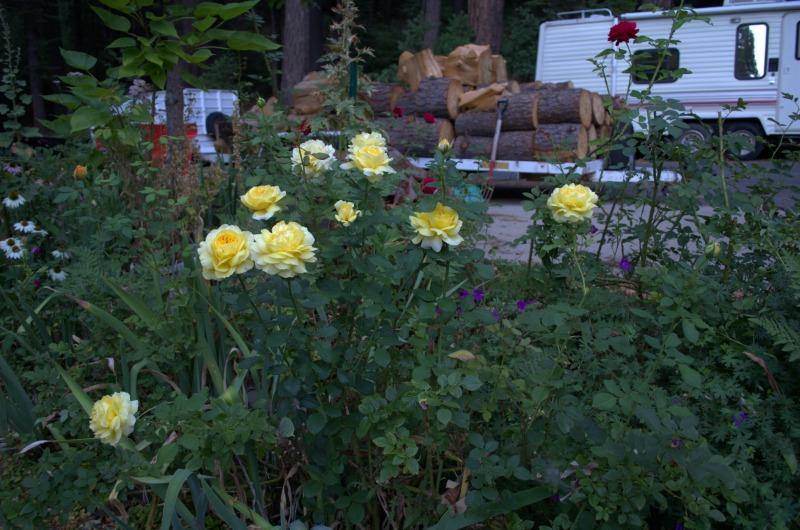 Graham Thomas rose. FlowerPatchFarmhouse.com