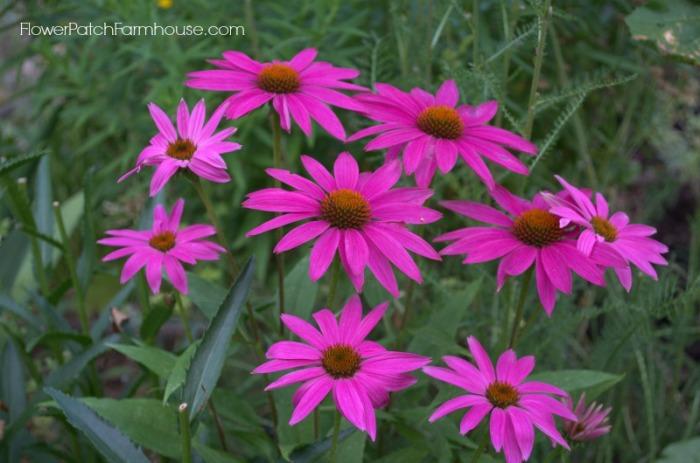 Pow Wow Echinacea Coneflower, FlowerPatchFarmhouse.com