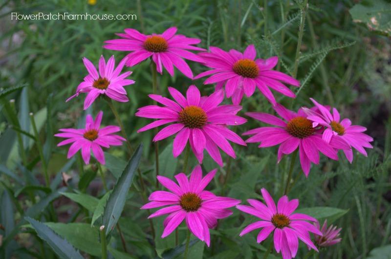 Pow Wow Echinacea Coneflower 8, FlowerPatchFarmhouse.com