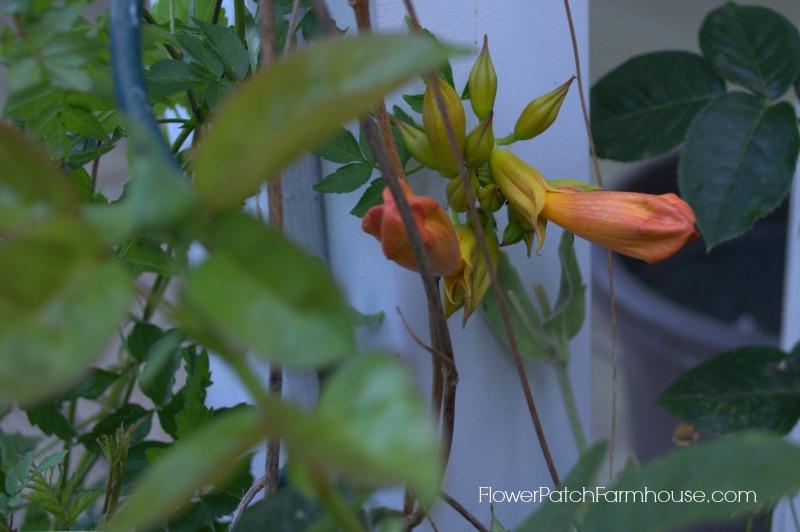Trumpet Vine 28, FlowerPatchFarmhouse.com