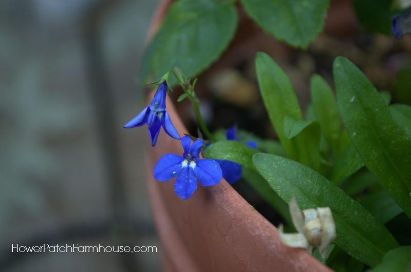 lobelia, FlowerPatchFarmhouse.com