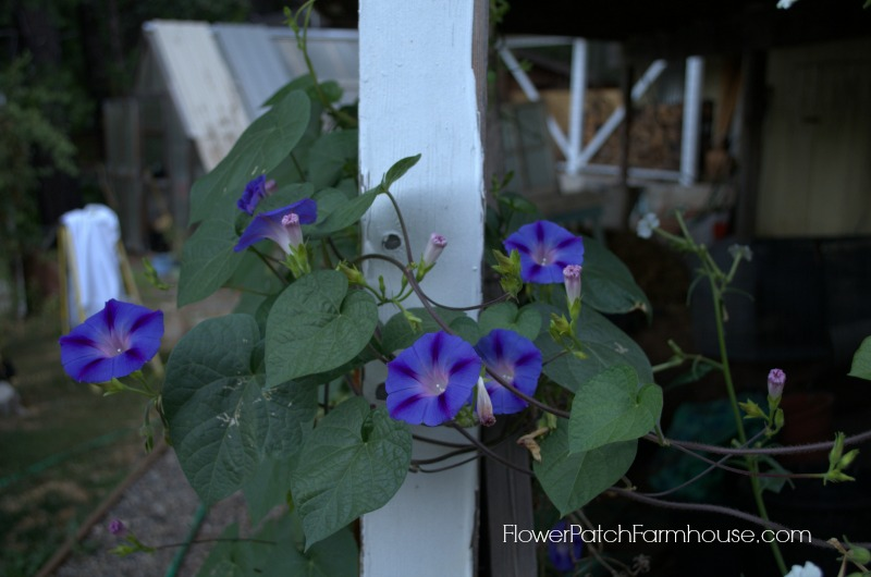 morning glory, FlowerPatchFarmhouse.com