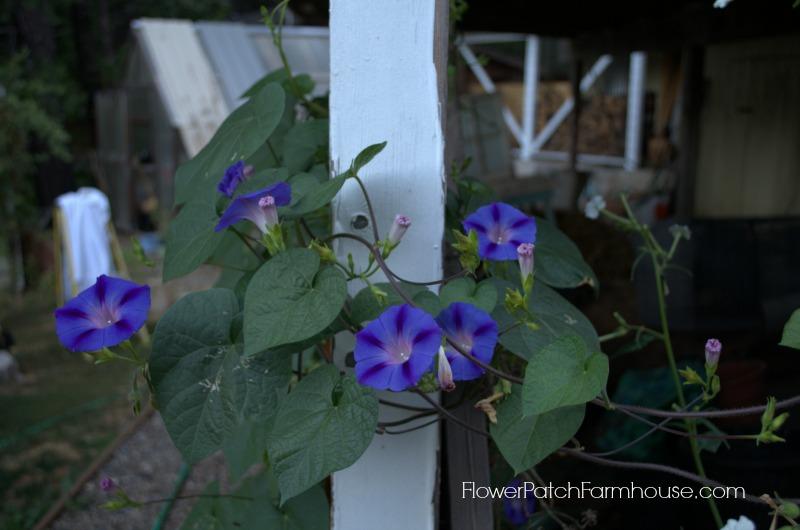 morning glory, FlowerPatchFarmhouse.com
