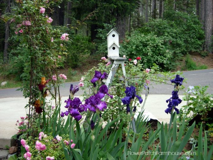 Ladder with roses and Iris, FlowerPatchFArmhouse.com