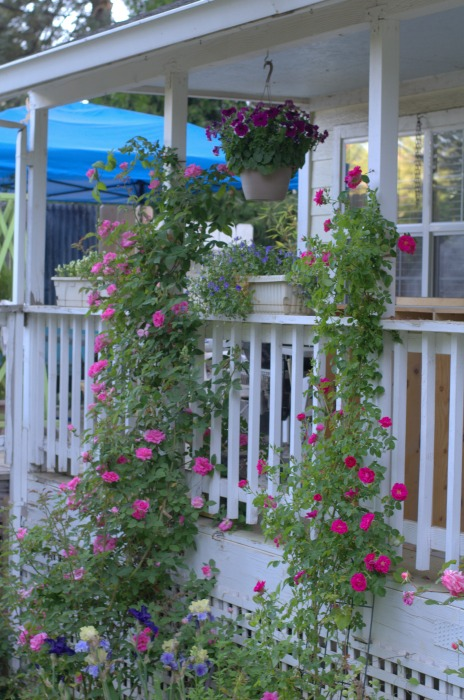 Zepherine Drouhin rose climbing porch post with William Baffin