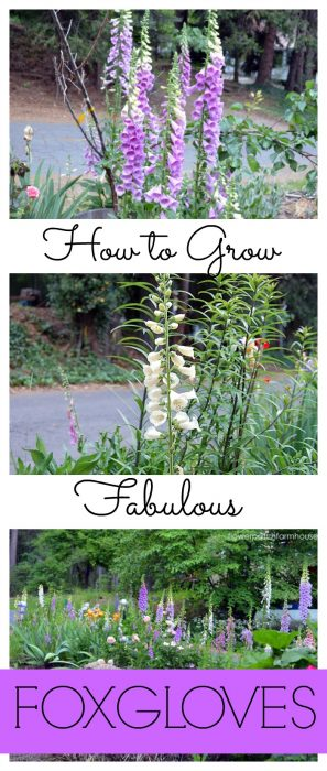 How to Grow Fabulous Foxgloves in your Cottage Garden, FlowerPatchFarmhouse.com