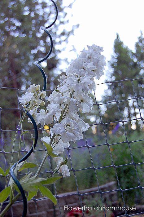 white delphinium, FlowerPatchFarmhouse.com