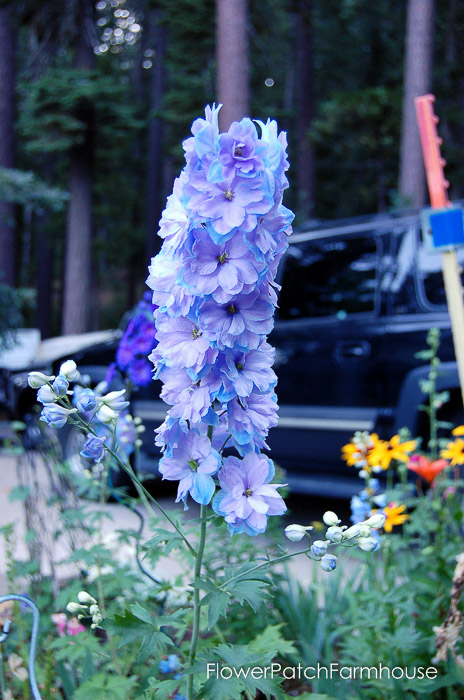 How to Grow Delphiniums from Seed (5 of 15)