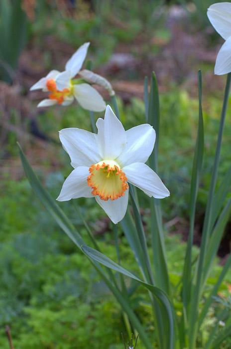 Orange rimmed daffodil, FlowerPatchFarmhouse.com