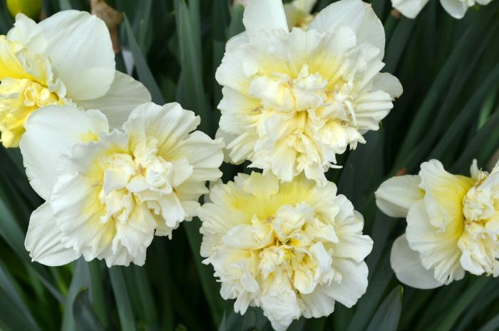 Whipped Cream Daffodil, FlowerPatchFarmhouse.com
