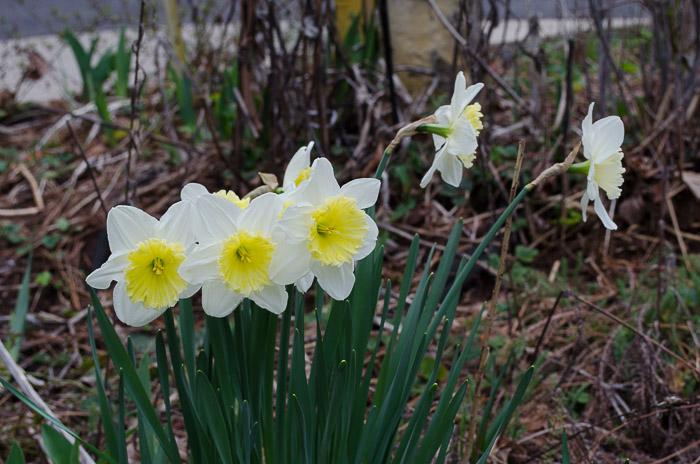 Daffodils, Flower Patch Farmhouse.com