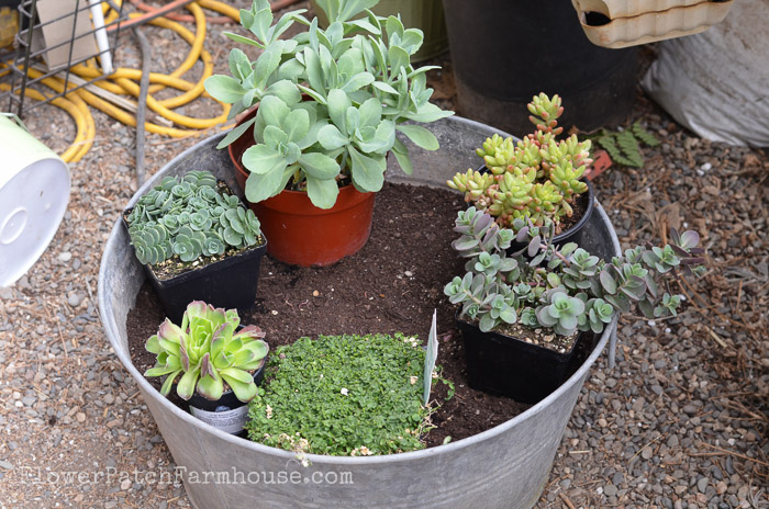 Mini garden in a galvanized bucket.