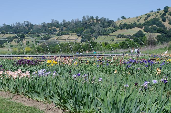 A visit to Pleasants Valley Iris Farm, FlowerPatchFarmhouse.com