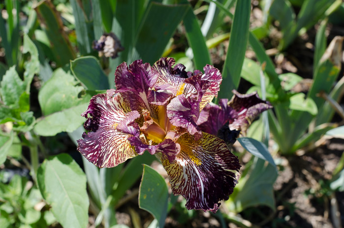 Bewilderbeast Iris, FlowerPatchFarmhouse.com