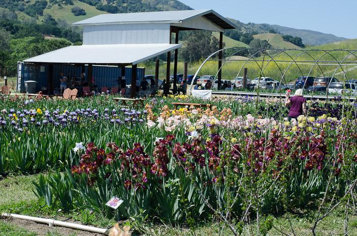 Iris farm, FlowerPatchFarmhouse.com