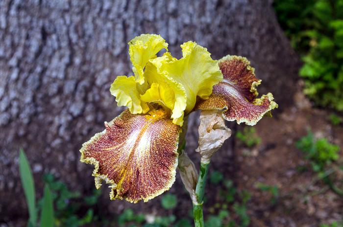 Cinnamon Iris, FlowerPatchFarmhouse.com