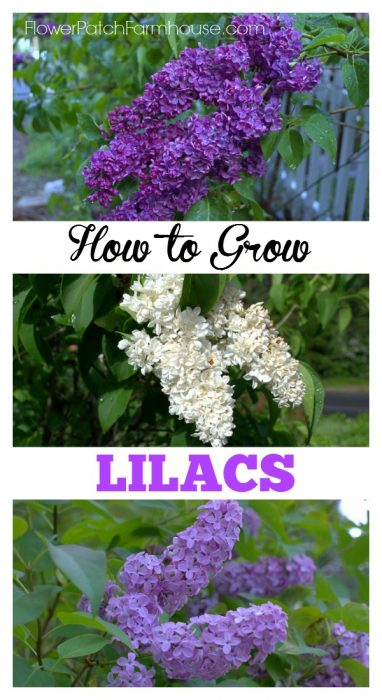How to Grow and Care for Lilacs in your cottage garden, FlowerPatchFarmhouse.com