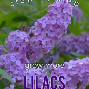 Lilac with text overlay, Step by step grow more lilacs from cuttings