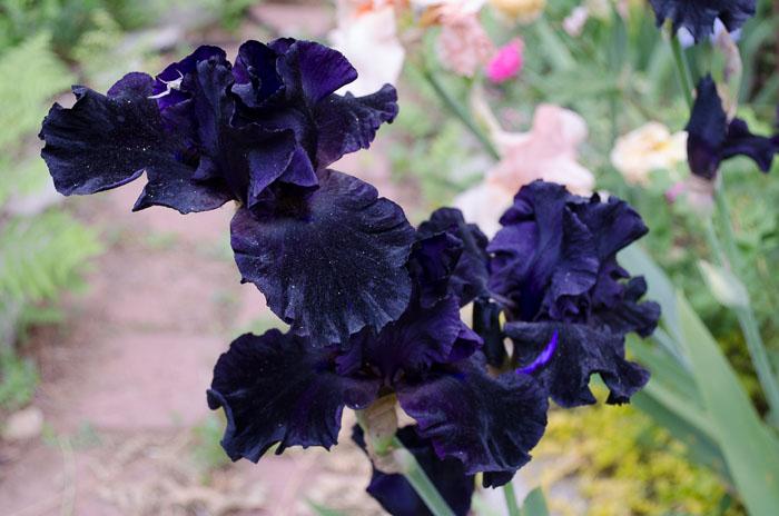 Superstition Iris, FlowerPatchFarmhouse.com