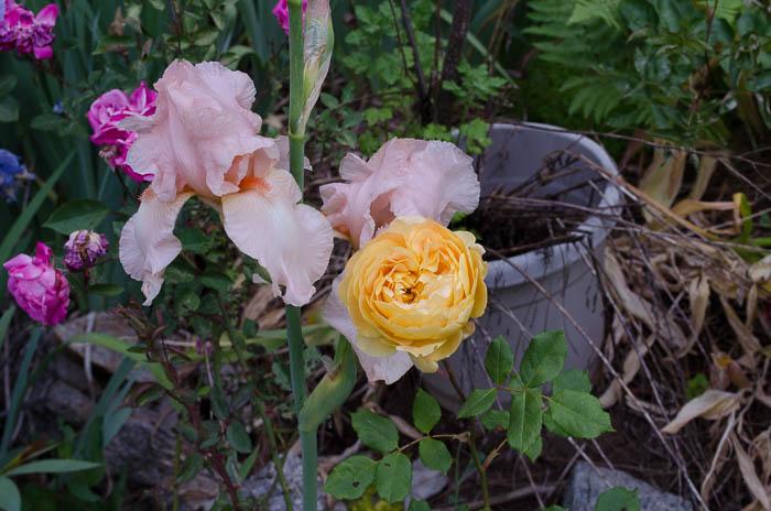 Beverly Sills Iris with Golden Celebration rose, FlowerPatchFarmhouse.com