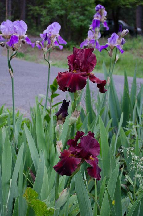 burgundy iris, FlowerPatchFarmhouse.com