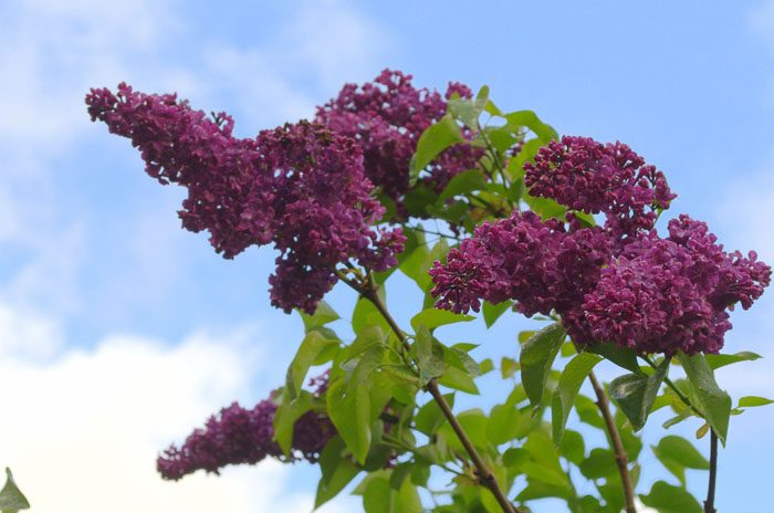 How to grow and care for lilacs, FlowerPatchFarmhouse.com