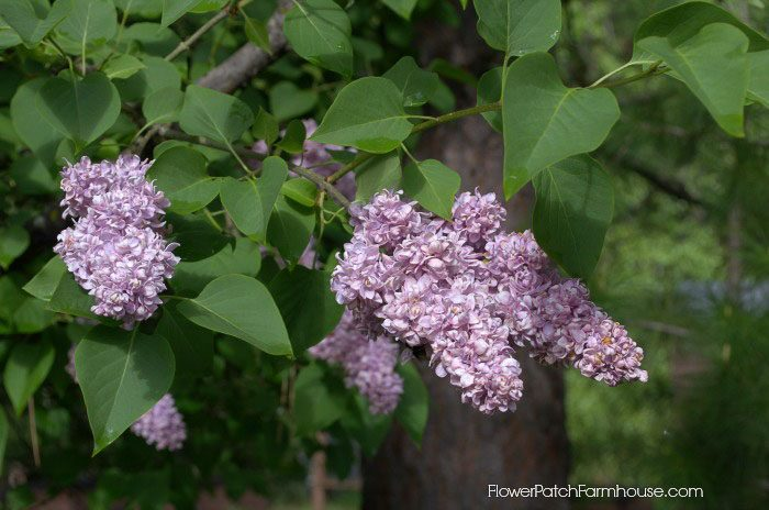 French lilac, double lilac, how to grow lilacs